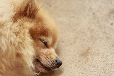 Pomeranian dog having sweet dream, focus on the eye, with copy space