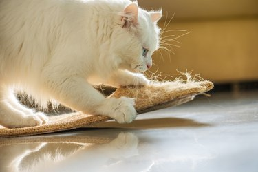 White cat scratching on a slipper.