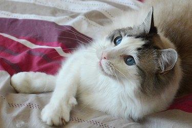 Ragdoll cat portrait France