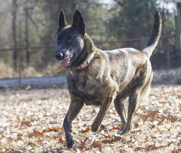 Dutch Shepherd Dog or Belgian Malinois
