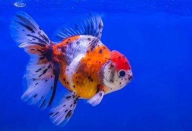 Lionhead goldfish or lionhead goldfish with black spot