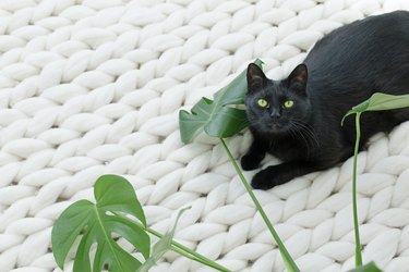 Black cat relaxing on white knitted blanket with monstera leaves.