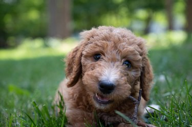 Closeup of a goldendoodle puppy chewing a stick