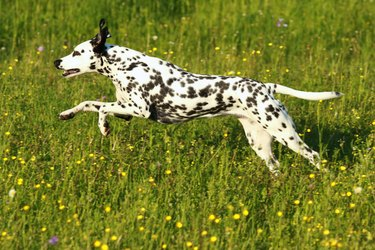 Dalmatian dog running across meadow