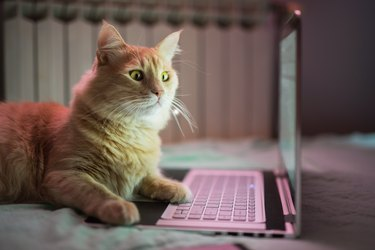 Beautiful young yellow Maine Coon cat working on laptop.