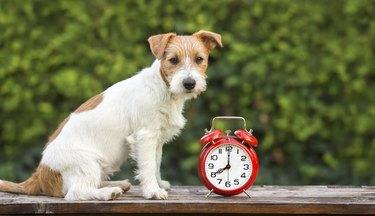 Pet training - cute happy puppy sitting near an alarm clock