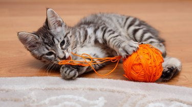 Gray kitten plays.
