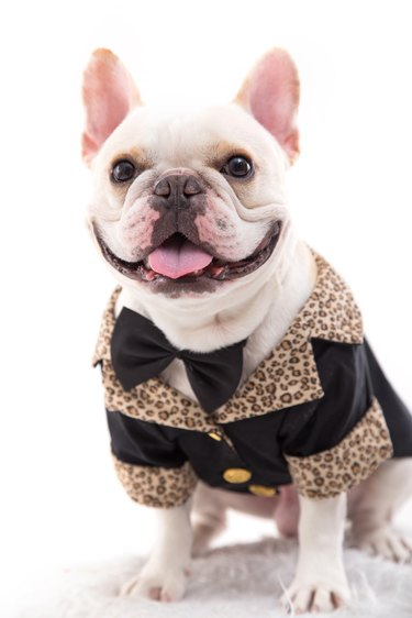 French bulldog in tuxedo
