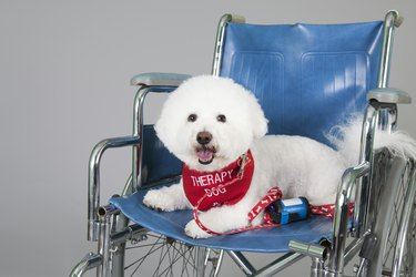 Cute Bischon therapy dog