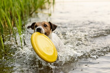Nice terrier dog playing with yellow toy in water