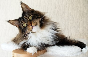 Brown tabby with white Maine Coon looking curious