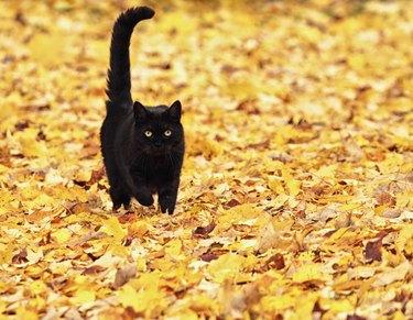 Black Halloween Cat Running On Autumn Leaves