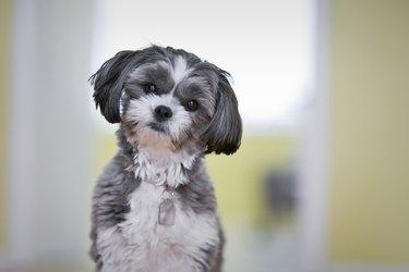 Portrait of a female Shih Tzu Maltese dog