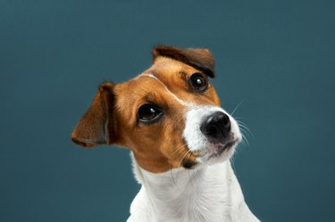 Portrait of a dog breed of Jack Russell a dark grey background. Background for your text and design