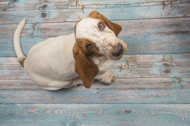 Basset hound puppy looking up sitting on a wooden blue floor
