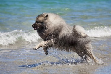 Keeshond running on the beach
