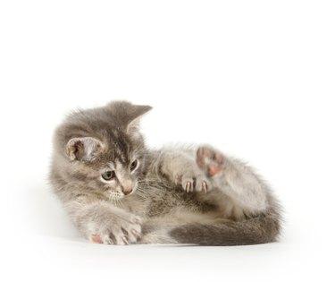 Gray kitten chasing tail on white