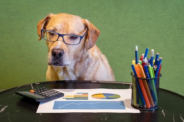 Dog as financial work with report, pens and calculater on table. Dog with eyeglasses.