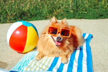 pomeranian dog wearing sunglasses next to a beach ball on a towel