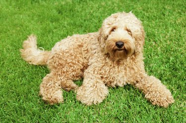 Cute labradoodle on a grassy field