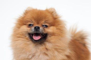 Young purebred Pomeranian