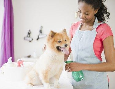 Pet groomer grooming Pomeranian dog