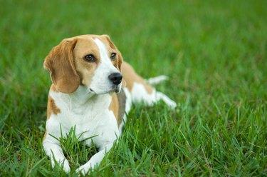 Beagle dog on the lawn
