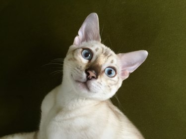 Bengal cat close up
