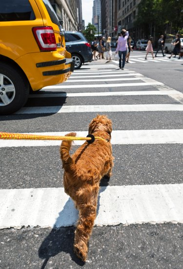 Walking small dog on the streets of New York City