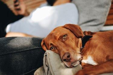 Beautiful Vizsla dog looking at the camera