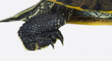 Red Eared Slider Turtle Foot