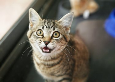 Adorable tabby kitten looking up and meowing