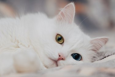 Odd-eyed cat with blue and almond eyes. Heterochromia. Turkish Angora cat lies on a spotty background.