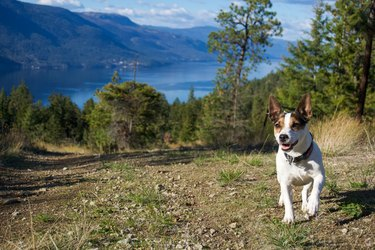 Small dog running off leash on a hiking trail with scenic lake background