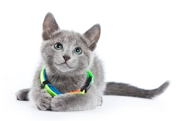 Fluffy gray kitten of a Russian blue cat in a collar (isolated on white)