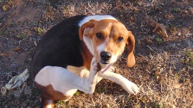 A beagle scratching herself outside