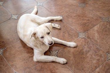 Labrador retriever lies on floor