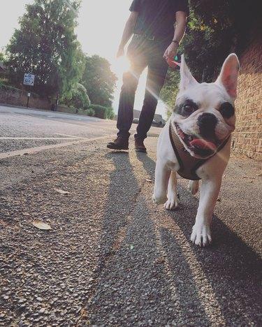 Walking French Bulldog in the evening, England