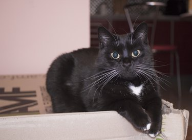 Black cat with white whiskers, eyebrows and paws lies on cardboard box