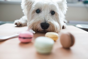 Westie with macaroons
