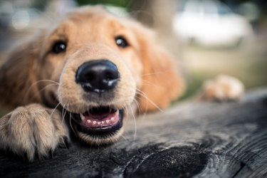 Close up of a brown dog outside