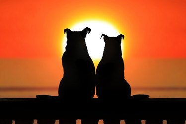 Couple of jack russell at sunset