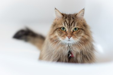 Softness Domestic Longhair Cat