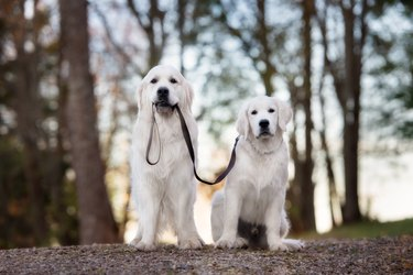 two golden retriever dogs outdoors