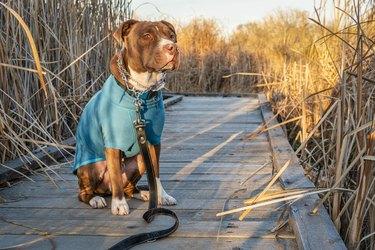 pit bull dog in warm jacket on a walk