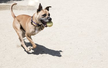 Three-legged Boxer Mix Playing with a Tennis Ball - The Amanda Collection