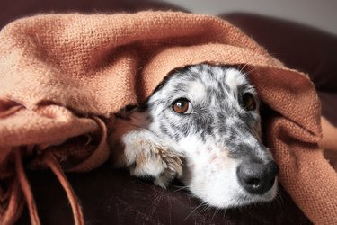 Dog on couch under blanket