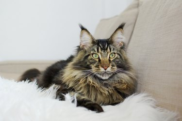 Maine coon cat lying on white blanket