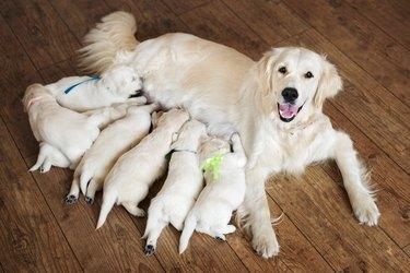 happy golden retriever dog with puppies
