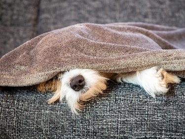 Dog nose and paws peek out from under a gray blanket